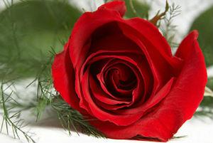 logo mang hoa hong